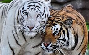 El tigre de Bengala, solo existen poco más de cien, es el mayor depredador de la selva de Nepal, son difíciles de ver, pues se esconden durante el día.